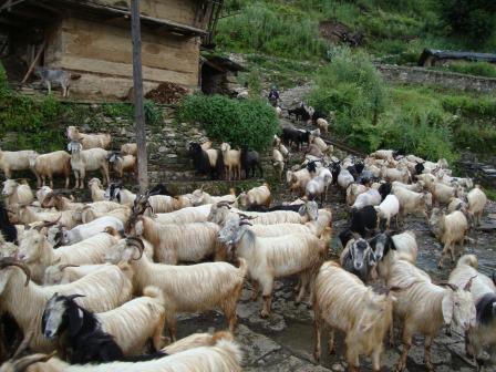 Sheep, Goat Flock In Remote Village