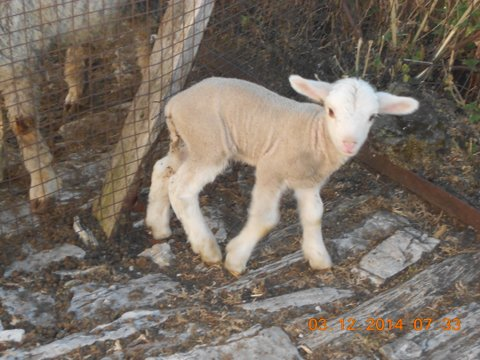 First Lamb Born by Artificial Insemination in Sheep