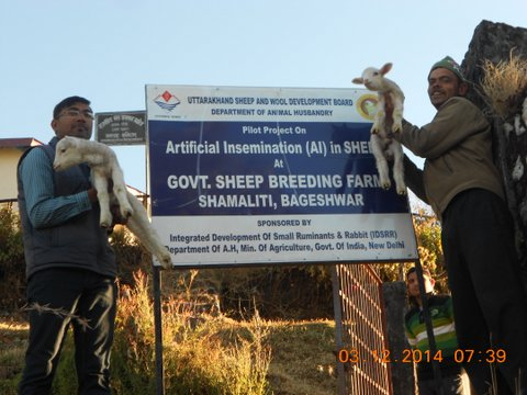 Artificial Insemination in Sheep