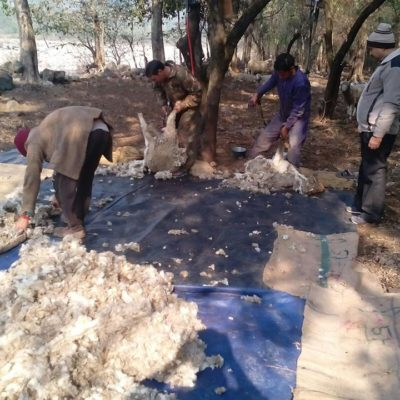 Machine Wool Shearing Camp in The Field Conditions