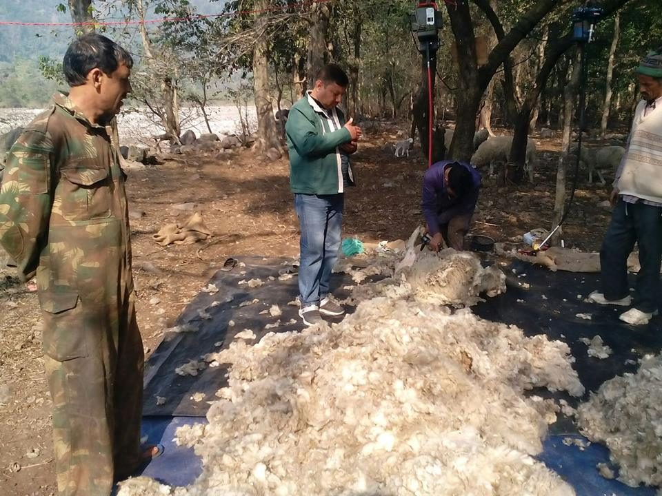 Machine Wool Shearing Camp In Field Conditions