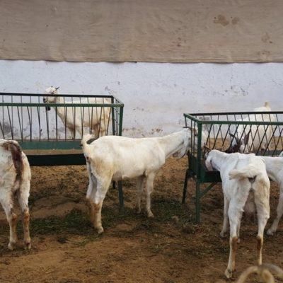 Jamunapari Goat, CIRG, Mathura