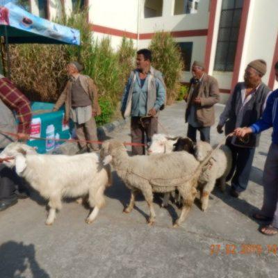 Sheep Ready for Shearing